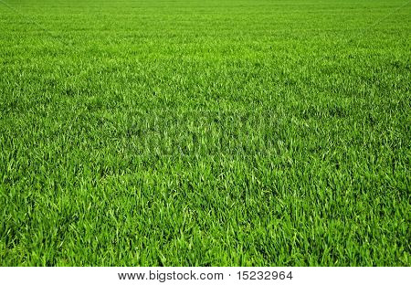 background consisting of juicy green grass on the field