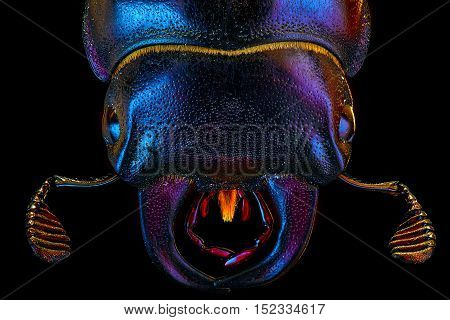 Extra-sharp portrait of the female european rhinoceros bug on the black background