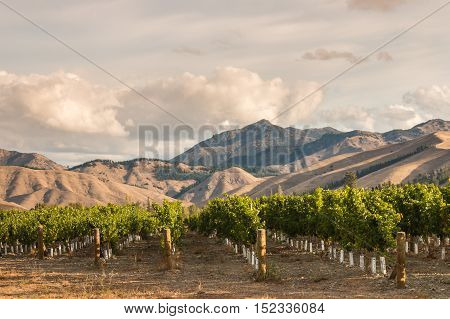rows of grapevine in vineyard at sunset