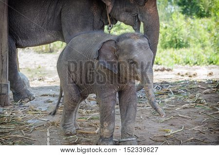 Baby elephant playing alongside Mother elephant .