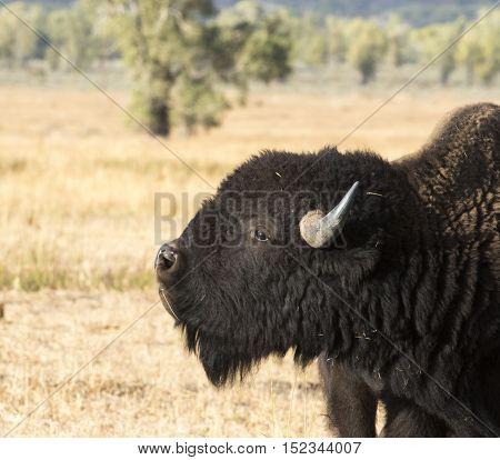 Bull bison sniffing (flehmen) for pheromones in grass