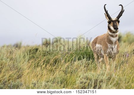 Buck pronghorn in deep grass on side of image