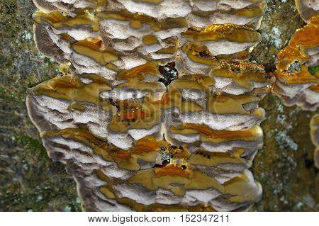 The polypore fungus Antrodia serialis on a tree.