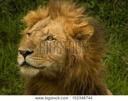 lion hunting during daylight in safari grassland