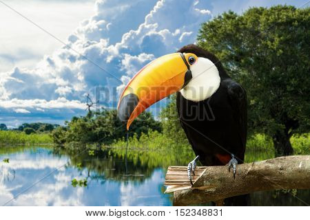 Toucan bird in the nature