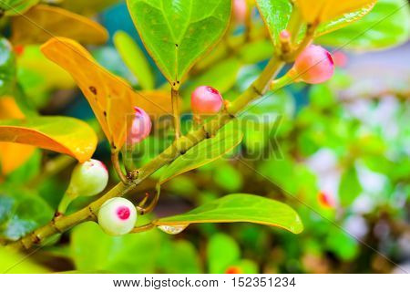 Ficus deltoidea, commonly known as mistletoe fig (Mas Cotek in Malaysian or Sarika Lin thong in Thai) is a large shrub or small tree species native to Southeast Asia,