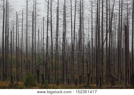Death spruce trees in the Harz Mountains in central Germany.