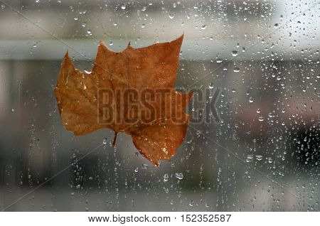 Autumn maple leaf stuck to wet the glass window with the rain drops