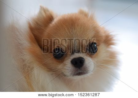 Cute Pomeranian looking at the camera through its cage