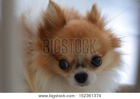 Cute Pomeranian looking sideway through its cage