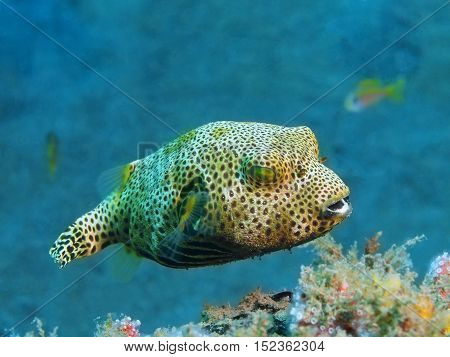 The surprising underwater world of the Bali basin, Island Bali, Puri Jati, boxfish