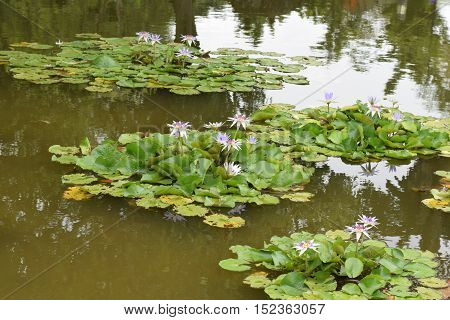 A pond of beautiful water lilies at Singapore Japanese Garden