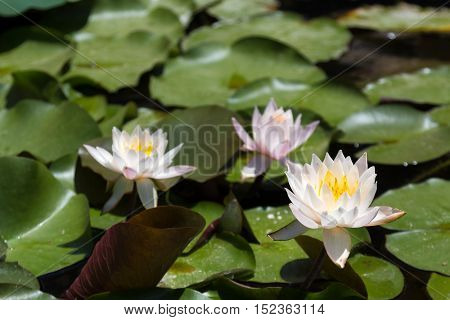 Three white and pink lilies in a pond