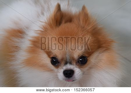 A sad looking pomeranian waiting for his owner