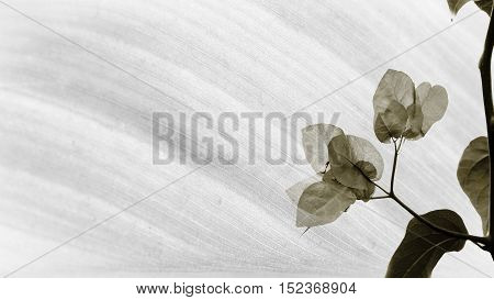 monochrome image of Bougainvillea on abstract palm leaf texture
