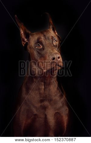 Dog breed Doberman brown color on a black background in the Studio pedigreed adult male closeup portrait