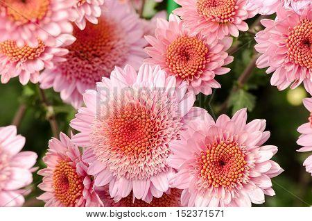 autumn flowers pink chrysanthemum bright beautiful macro