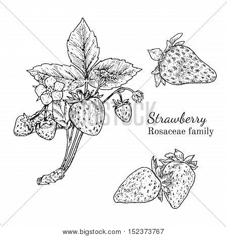 Ink strawberry herbal illustration. Hand drawn botanical sketch style. Absolutely vector. Good for using in packaging - tea, condinent, oil etc - and other applications