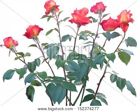 illustration with briers and roses isolated on white background