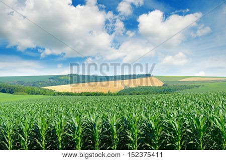 Corn field in the picturesque hills and white clouds in the blue sky.