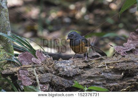 Magpie Robin Bird The bird standing on a branch in nature Thailand
