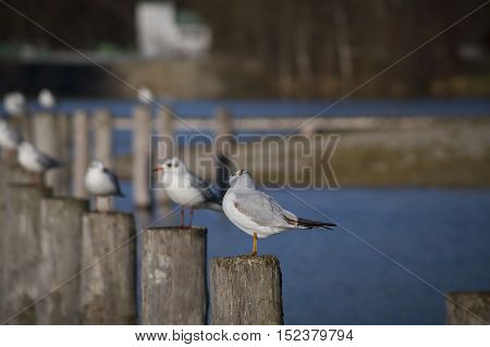 Some relaxing seagulls on a wooden pile at the lake