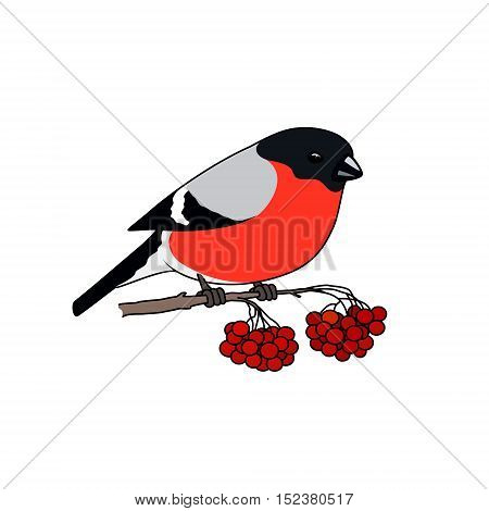 Bullfinch Sitting on a Branch with Bunches of Rowan Isolated on White Background, Christmas Decorations, Merry Christmas and Happy New Year , Vector Illustration