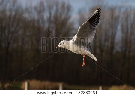 Close up of a seagull at the lake in flight