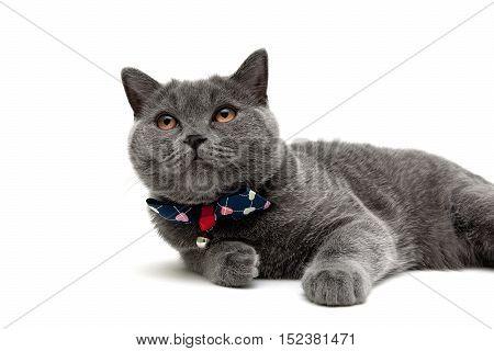 gray cat isolated on white background. horizontal photo.