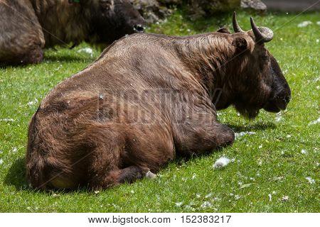 Mishmi takin (Budorcas taxicolor taxicolor). Wildlife animal.