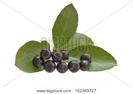 Branch black chokeberry, isolated on white background