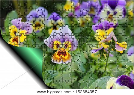 Natural background pansies with the effect of puzzles and the bend page with copy space for text.