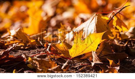 yellow, brown with red leaves lying on the ground in the fall, a large quantity, sunny day, maple leaves bright, close-up