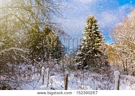 Large and small fir trees covered with snowfall. Christmas background.
