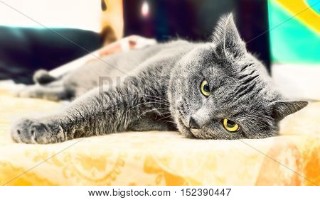 Beauty adult gray cat lies in thought