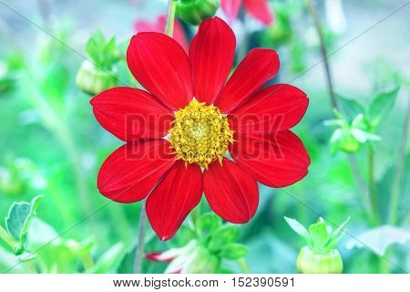 Nice big flower of annual red dahlia with yellow center in garden