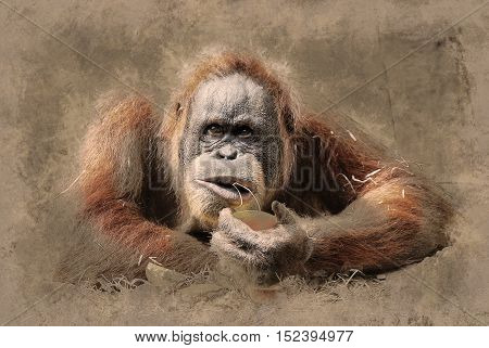 Orangutan is being distracted from eating an orange. Vintage painting, background illustration, beautiful picture, travel texture