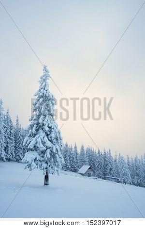 Christmas view. Winter landscape with fir trees in the snow. The wooden house in a mountain forest. Sunlight and cloudy sky. Beautiful fabulous evening. Carpathians, Ukraine, Europe
