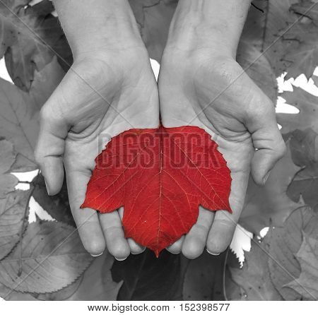 Red autumn leaf at woman hands. B&W