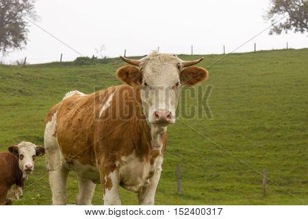 Cows herd on a mountain pasture. Autumn hills Alps austria