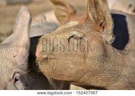 happy domestic pigs cuddling with their snouts