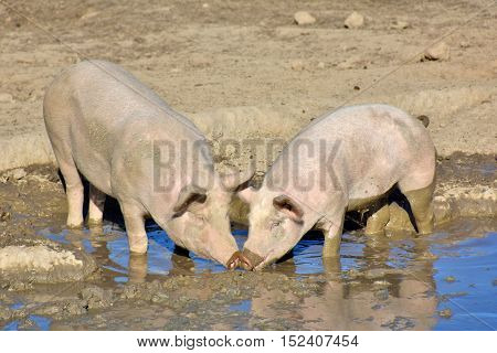 domestic pigs in a wallow cuddling with their snouts