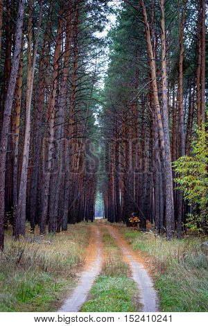 Scene with forest road among the tall pines