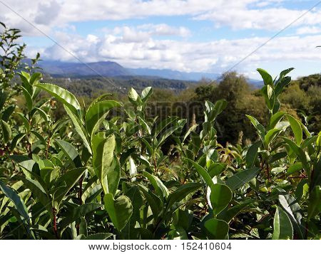 green tea leaves on a background of green mountains