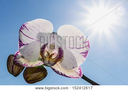 Beautiful floral background with a white orchid flower with a pink border and spotted closeup on a background of blue sky and sun