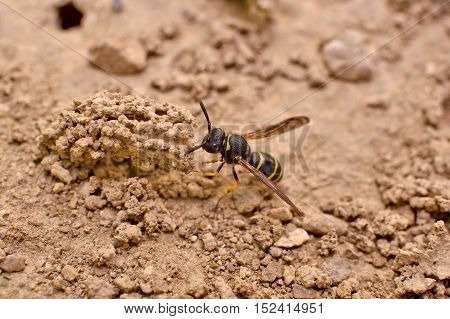 Female Potter wasp building her nest endangered species