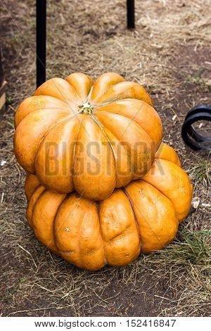 Autumn Pumpkin Thanksgiving Background - orange pumpkins on the ground. Pumpkin Stalks. Pumpkins on rural landscape background. Assortment of pumpkins.  Vegetable from the farm. Organic food.