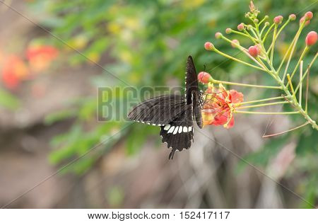 Soft focused of the movement of the black butterfly sits on colourful flower with blurred background