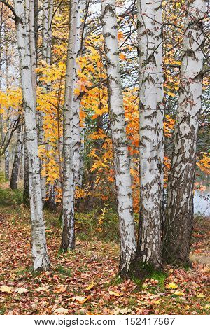 Birch white trees in the autumn forest
