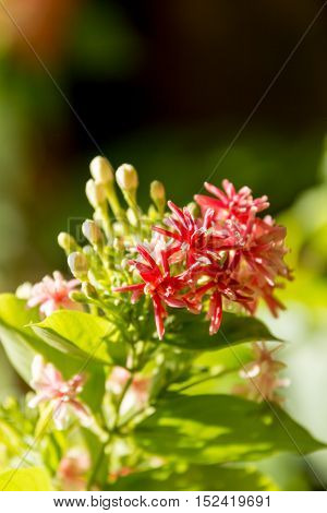 Close up shot of ixora flower backlight with natural sunlight